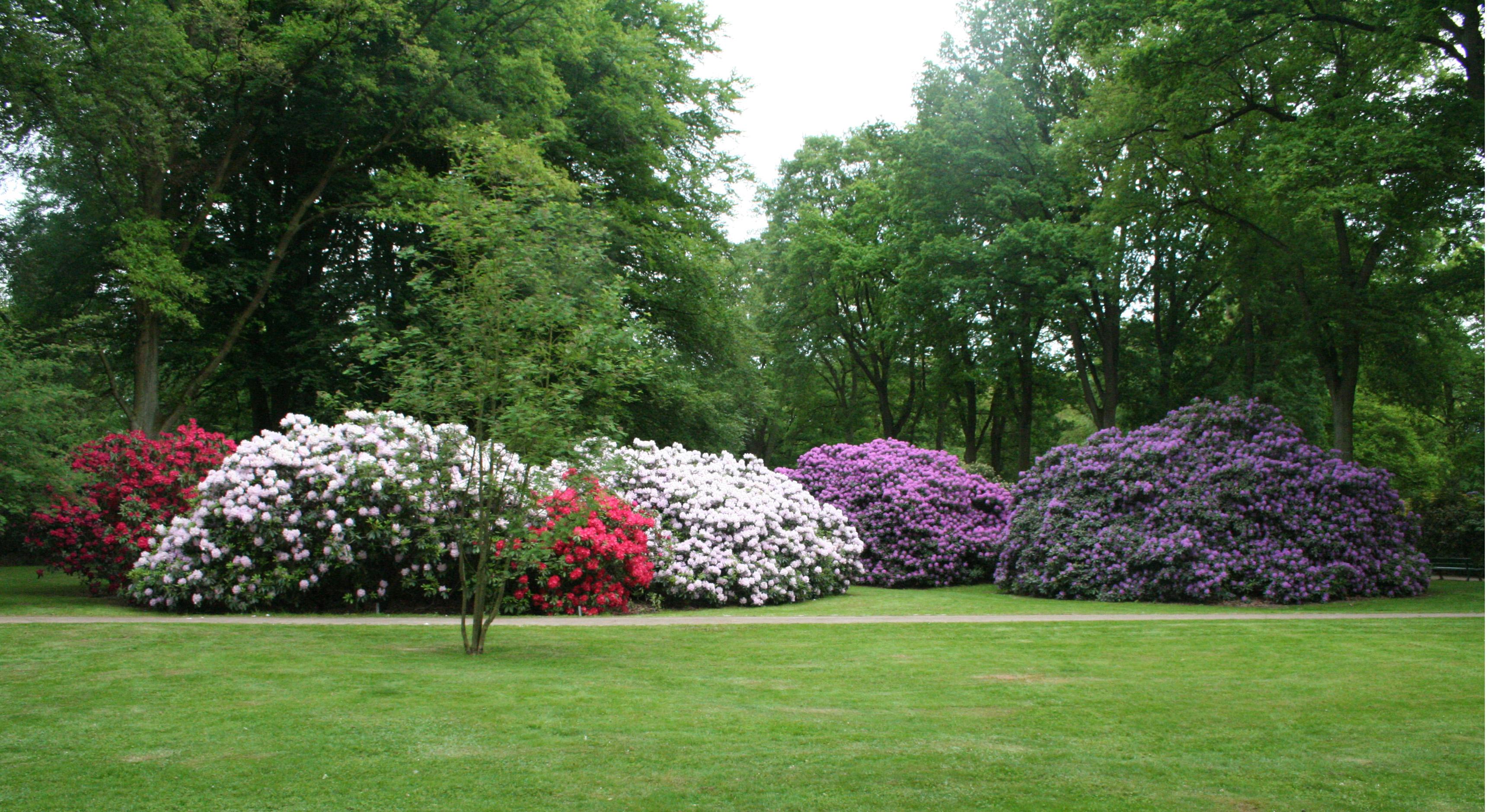 Rododendroni ali sleči