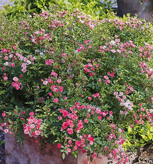 Vrtnica Lily Rose - zasaditev v koritu