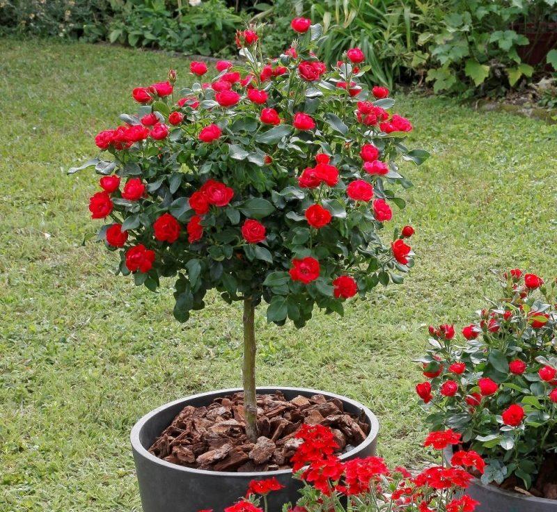 Vrtnica Zepeti - na deblu