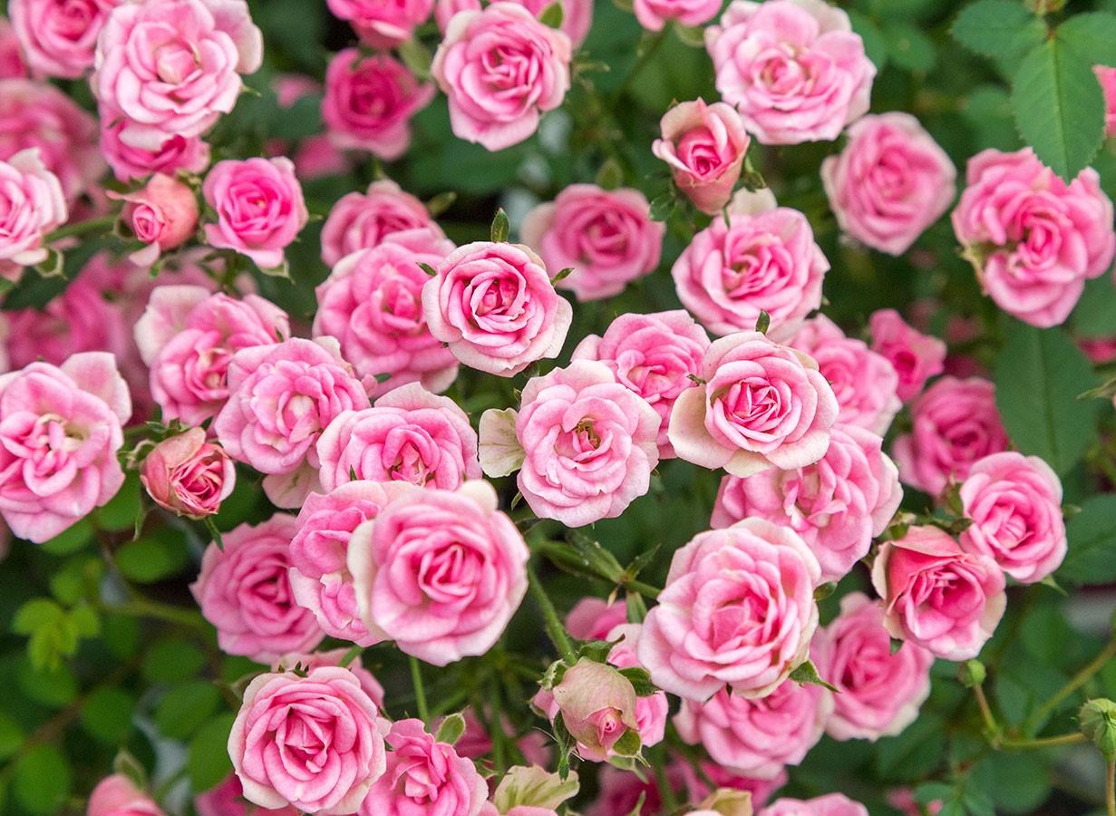 Vrtnica Lilly Rose - cvet
